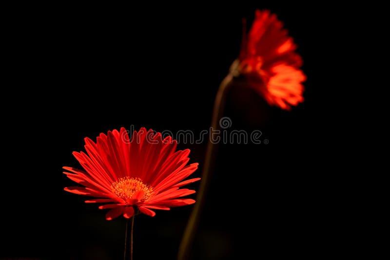 Φωτεινή κόκκινη μαργαρίτα gerbera στοκ φωτογραφία με δικαίωμα ελεύθερης χρήσης