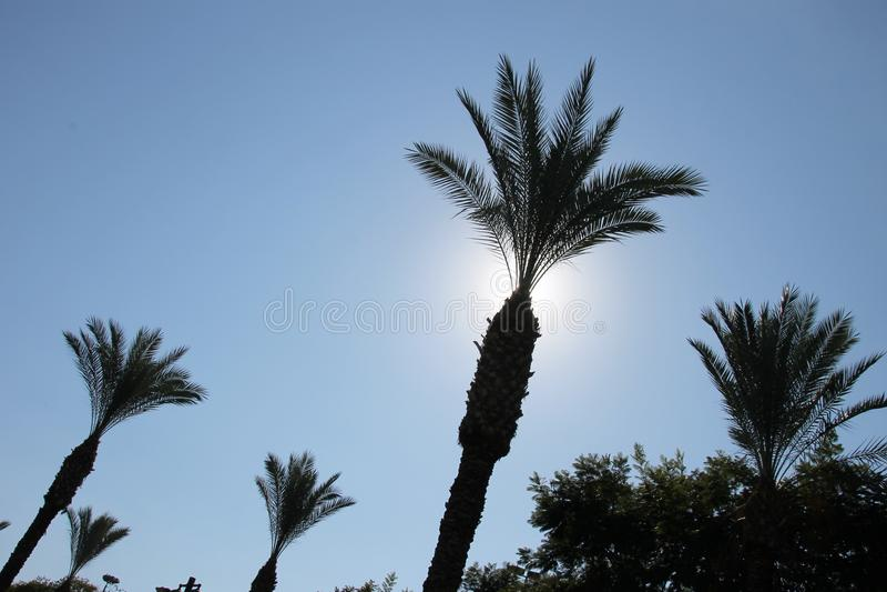 Φωτεινή σκιαγραφία του φοίνικα στο σαφή μπλε ουρανό στοκ φωτογραφία με δικαίωμα ελεύθερης χρήσης