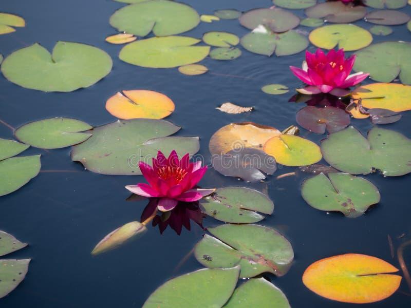 Φωτεινοί ρόδινοι κρίνοι νερού στην άνθιση στοκ φωτογραφίες