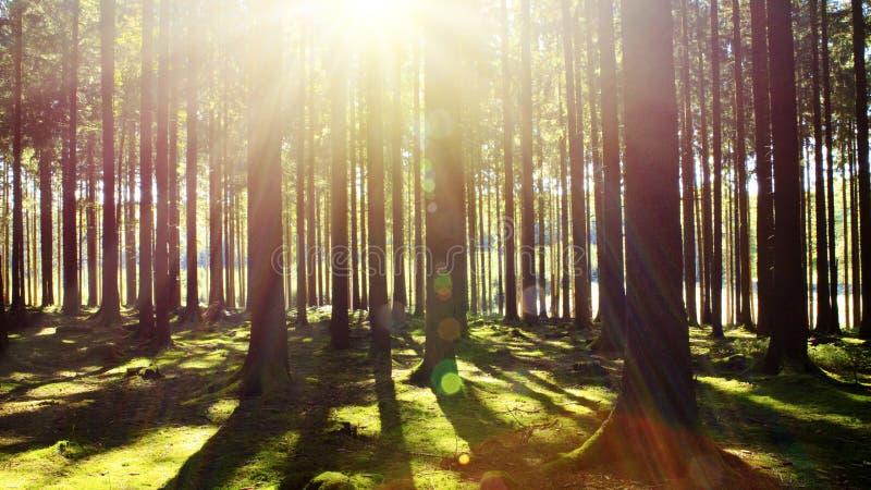 Φωτεινός ήλιος στο δάσος στοκ φωτογραφία