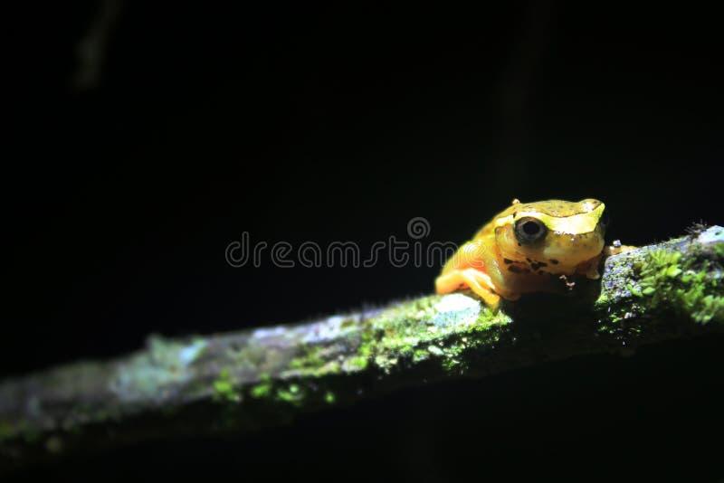 Φωτεινός κίτρινος βάτραχος σε έναν κλάδο που φαίνεται στοκ φωτογραφία