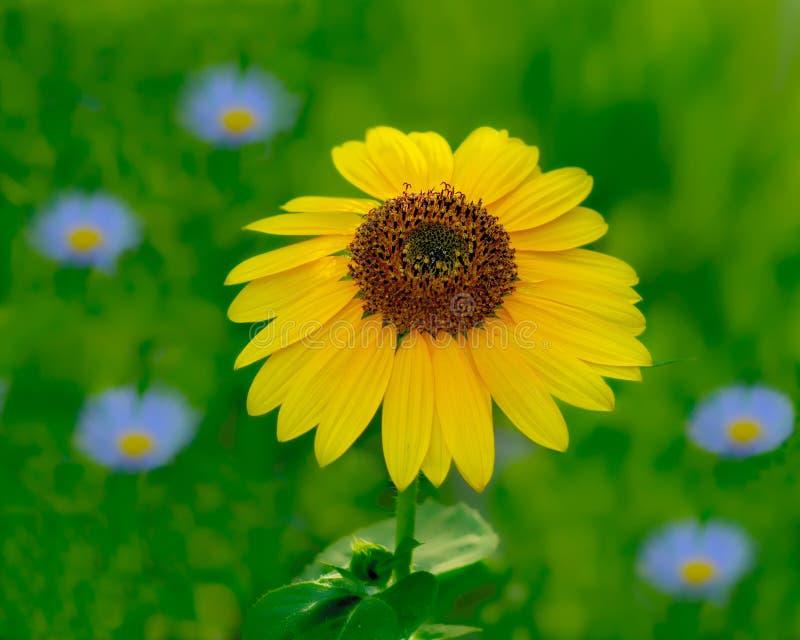 Φωτεινός κίτρινος ηλίανθος στον τομέα των μπλε λουλουδιών στοκ εικόνες με δικαίωμα ελεύθερης χρήσης