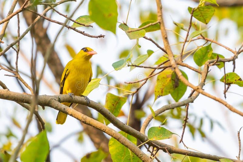 Φωτεινός κίτρινος μαύρος-Oriole σκαρφαλώνοντας στην πέρκα δέντρων του BO στοκ εικόνες