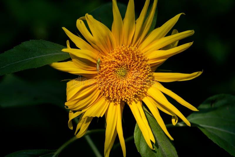 Φωτεινός κίτρινος ψεύτικος ηλίανθος στον τομέα λιβαδιών Ανθίζοντας φυτό στην οικογένεια Asteraceae Ποώδης αιώνιος Rhizomatous στοκ εικόνα