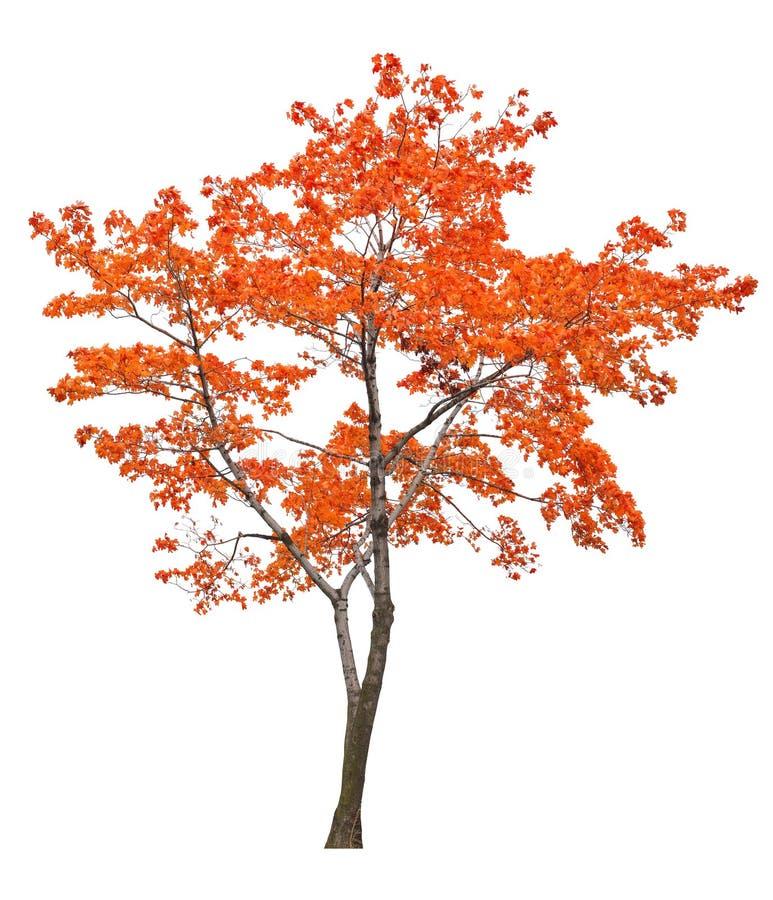Φωτεινό απομονωμένο κόκκινο δέντρο σφενδάμνου στοκ εικόνες