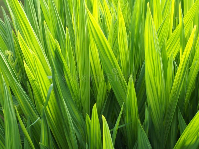 Φωτεινό δονούμενο πράσινο καμμένος ηλιοφώτιστο υπόβαθρο φύσης φύλλων ίριδων στοκ φωτογραφία με δικαίωμα ελεύθερης χρήσης