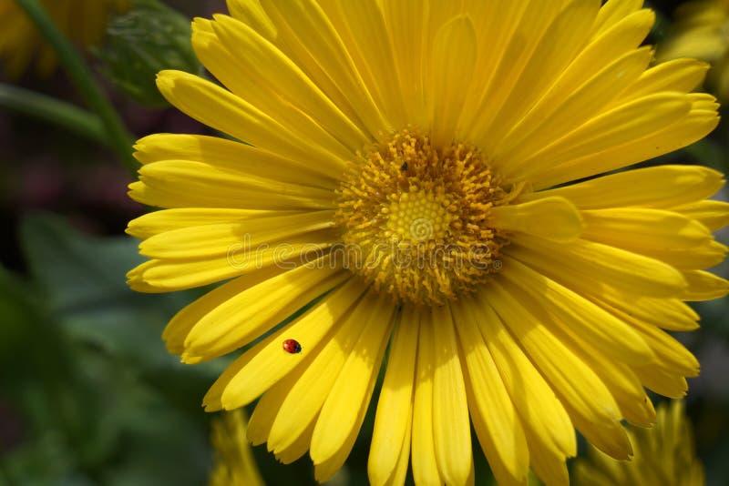 Φωτεινό κίτρινο λουλούδι Gerbera Daisy με Ladybug στοκ φωτογραφίες