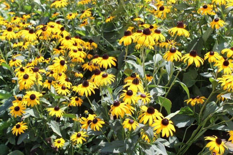 Φωτεινό κίτρινο μαύρο Eyed Susans στο ανοικτό λιβάδι κάτω από τη θερμή θερινή ηλιοφάνεια στοκ εικόνα με δικαίωμα ελεύθερης χρήσης
