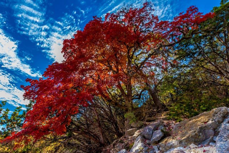 Φωτεινό κόκκινο δέντρο σφενδάμνου στο χαμένο κρατικό πάρκο σφενδάμνων, Τέξας στοκ εικόνα