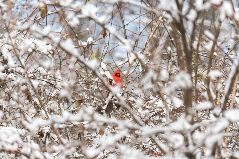Φωτεινό κόκκινο βασικό κρυφοκοίταγμα από το χιονισμένο θάμνο μέσω του στηθοδέσμου στοκ εικόνα