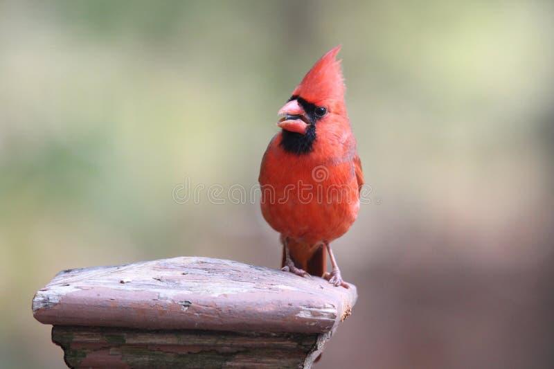 Φωτεινό κόκκινο βόρειο βασικό να σκαρφαλώσει σε μια θέση φρακτών στοκ φωτογραφίες