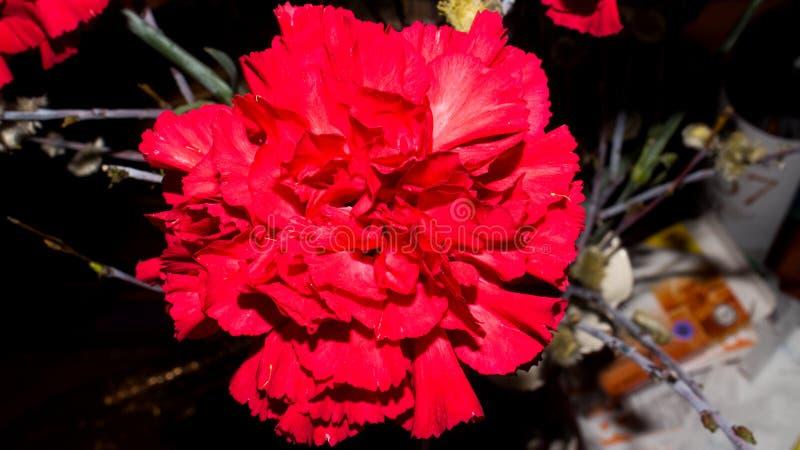 Φωτεινό κόκκινο γαρίφαλο στο θολωμένο υπόβαθρο στοκ φωτογραφία με δικαίωμα ελεύθερης χρήσης