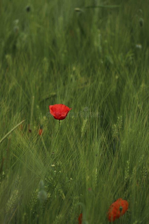 Φωτεινό κόκκινο λουλούδι παπαρουνών, Papaver rhoeas, σε έναν τομέα του καλαμποκιού στοκ εικόνα με δικαίωμα ελεύθερης χρήσης