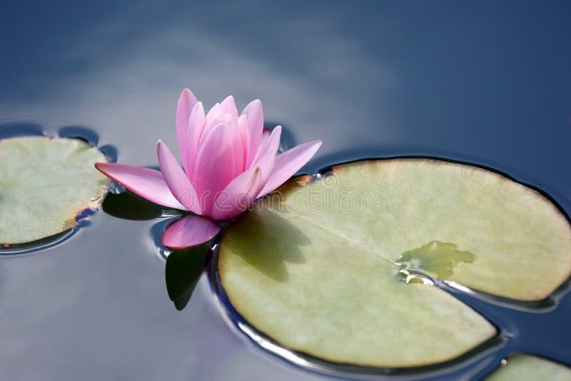 Φωτεινό κόκκινο νερό λωτού κρίνων λουλουδιών στοκ εικόνες με δικαίωμα ελεύθερης χρήσης