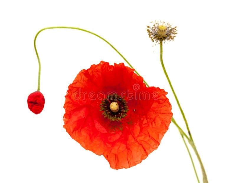 Φωτεινό κόκκινο λουλούδι παπαρουνών που απομονώνεται στοκ εικόνα