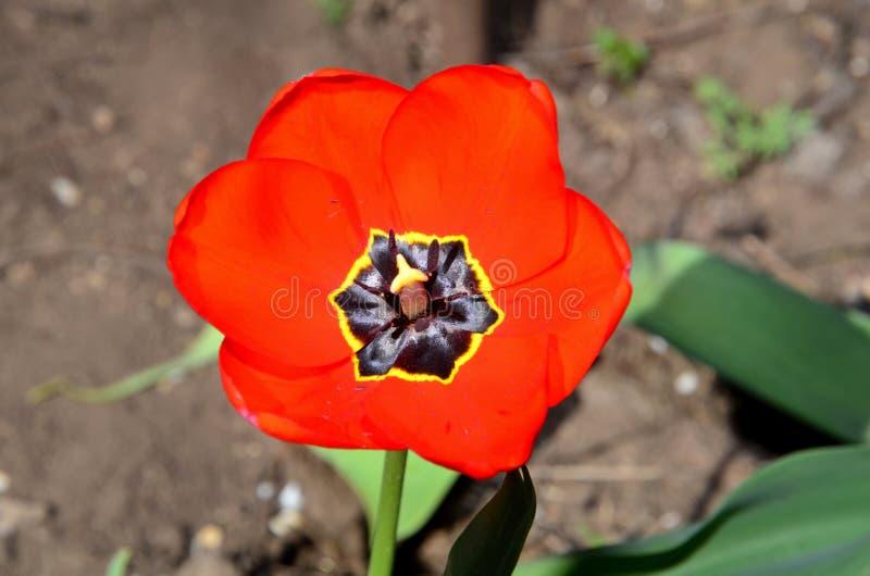 Φωτεινό κόκκινο τουλίπα στοκ φωτογραφία με δικαίωμα ελεύθερης χρήσης