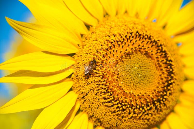 Φωτεινό λουλούδι ηλίανθων με μια μέλισσα που συλλέγει τη γύρη στοκ φωτογραφίες