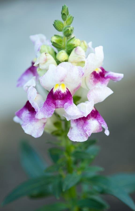 Φωτεινό λουλούδι snapdragon στοκ εικόνες με δικαίωμα ελεύθερης χρήσης