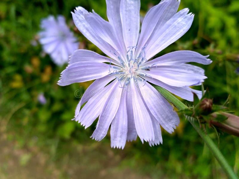 Φωτεινό μπλε λουλούδι ραδικιού στοκ φωτογραφία με δικαίωμα ελεύθερης χρήσης