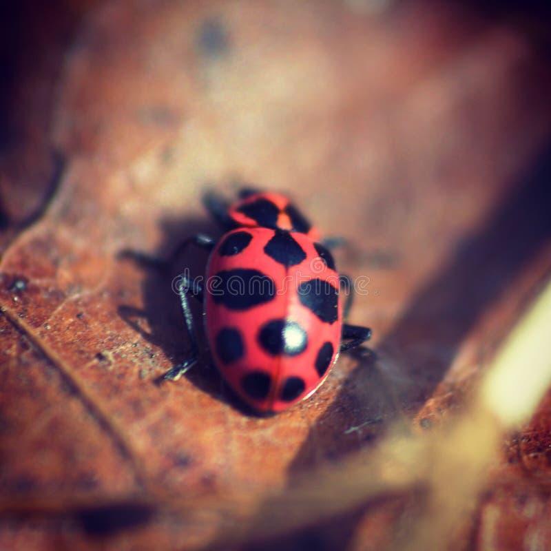 Φωτεινό νέο ελατήριο ladybug στοκ εικόνες