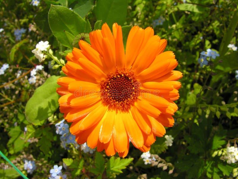 φωτεινό πορτοκάλι λουλουδιών στοκ φωτογραφίες