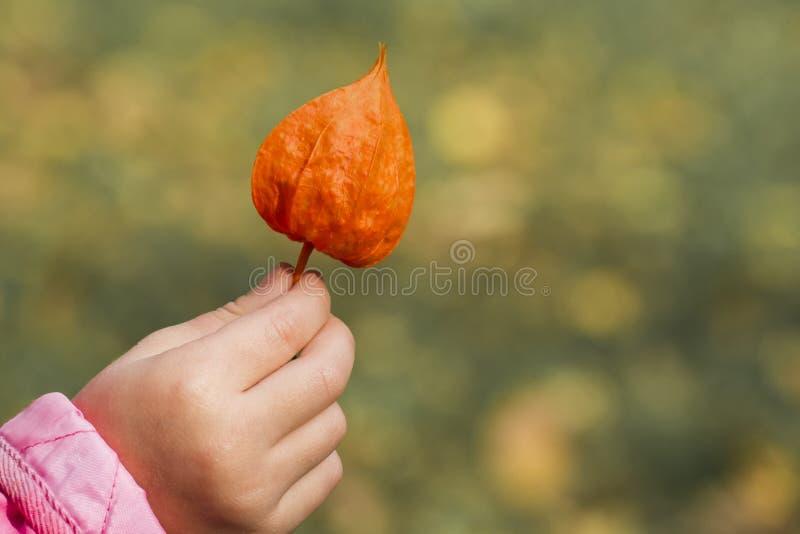 Φωτεινό πορτοκάλι του κερασιού κύστεων στο χέρι των παιδιών στοκ εικόνες