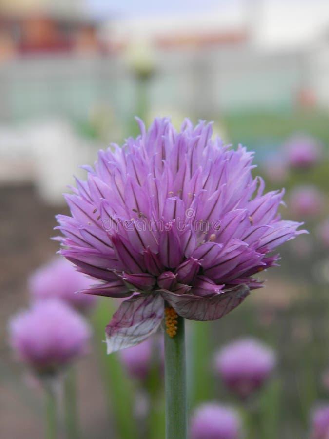 Φωτεινό πορφυρό λουλούδι του άγριου κρεμμυδιού στον κήπο στοκ φωτογραφίες με δικαίωμα ελεύθερης χρήσης