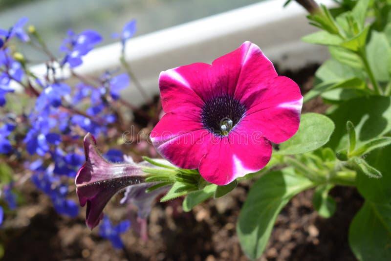 Φωτεινό ρόδινο λουλούδι πετουνιών στο δοχείο Το μπαλκόνι στοκ εικόνες με δικαίωμα ελεύθερης χρήσης