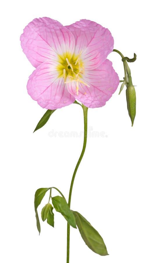 Φωτεινό ρόδινο και κίτρινο λουλούδι ενός primrose βραδιού απομονωμένου άργυρου στοκ φωτογραφία με δικαίωμα ελεύθερης χρήσης