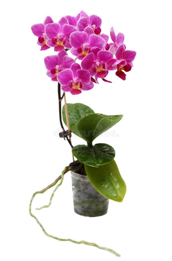Οδοντώστε Orchid στο δοχείο λουλουδιών που απομονώνεται στοκ εικόνα με δικαίωμα ελεύθερης χρήσης