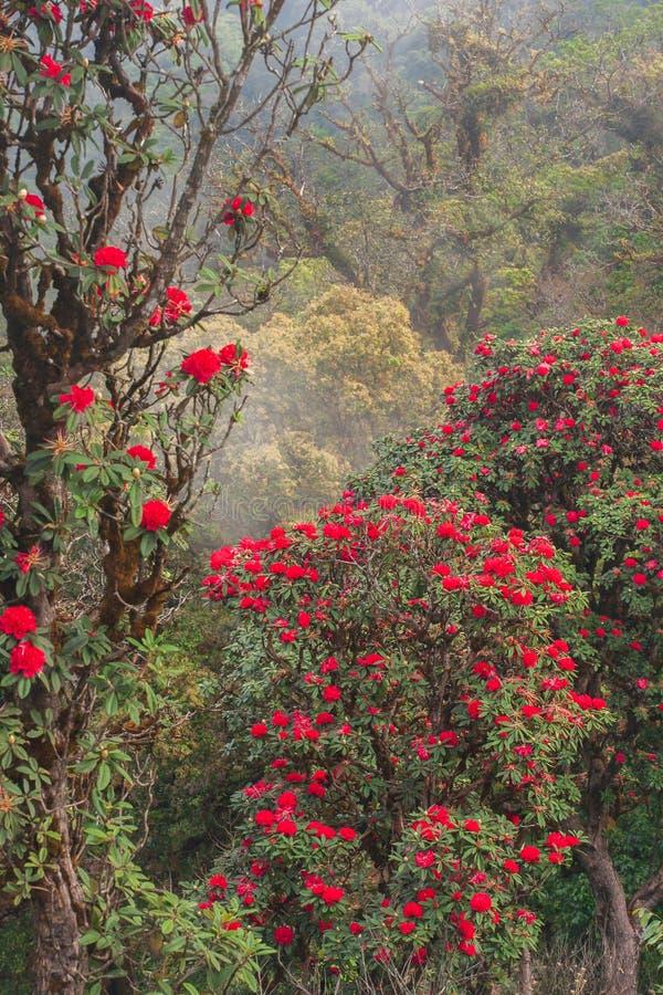 Φωτεινό φυσικό τοπίο με την αρχαία Rhododendron κόκκινη φρέσκια άνθιση λουλουδιών στο φως πρωινού Εποχή συγκεκριμένη Βουνά και στοκ φωτογραφία