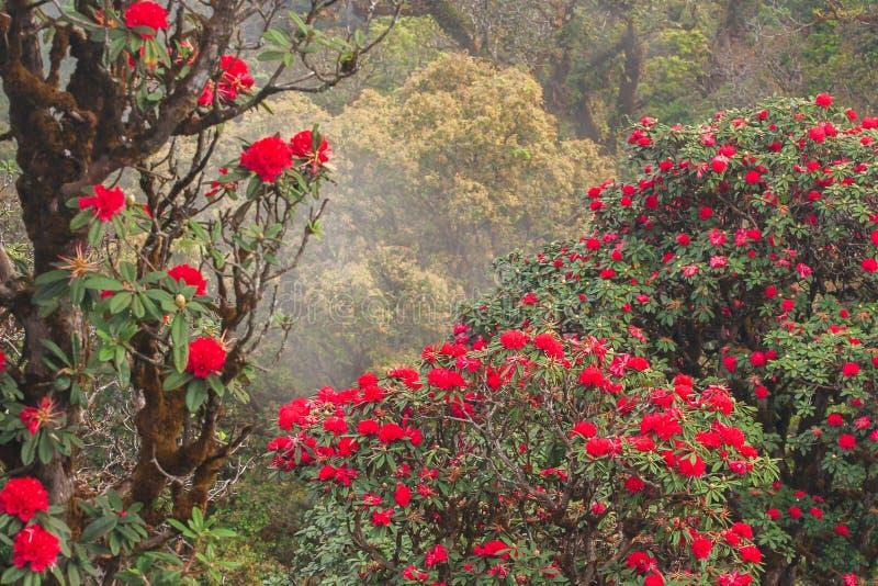 Φωτεινό φυσικό τοπίο με την αρχαία Rhododendron κόκκινη φρέσκια άνθιση λουλουδιών στο φως πρωινού Εποχή συγκεκριμένη Βουνά και στοκ φωτογραφίες με δικαίωμα ελεύθερης χρήσης