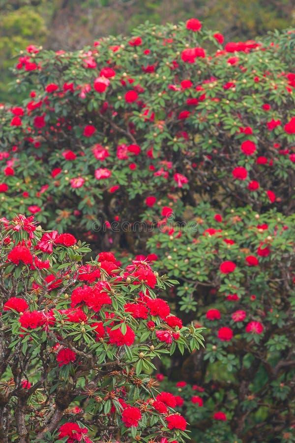 Φωτεινό φυσικό τοπίο με την αρχαία Rhododendron κόκκινη φρέσκια άνθιση λουλουδιών στο φως πρωινού Εποχή συγκεκριμένη Βουνά και στοκ φωτογραφία με δικαίωμα ελεύθερης χρήσης