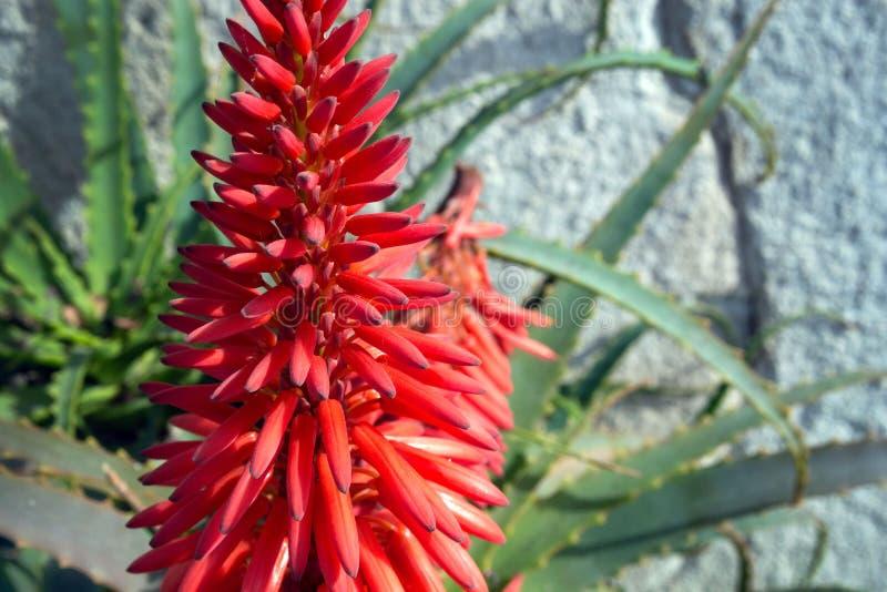 Φωτεινό όμορφο κόκκινο aloe Aloe Bellatula λουλουδιών ενάντια σε έναν άσπρο τοίχο στο πάρκο της Νίκαιας Χρήσιμες ιατρικές εγκατασ στοκ εικόνες με δικαίωμα ελεύθερης χρήσης