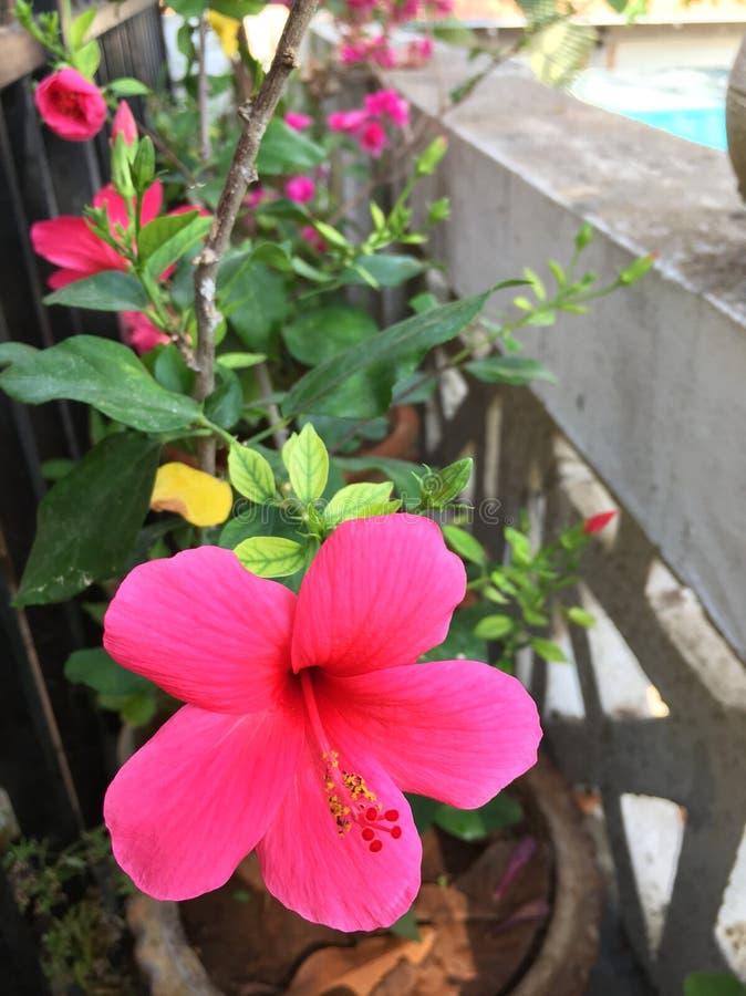 φωτεινό hibiscus λουλούδι στοκ φωτογραφία