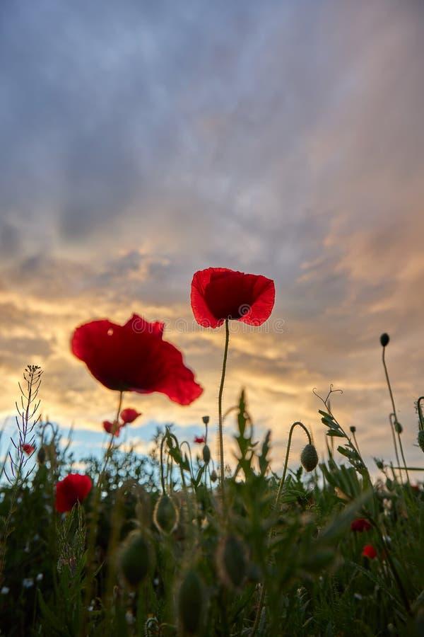 Φωτογραφία άνοιξης σε ένα λιβάδι με τα λουλούδια παπαρουνών στο χρόνο βραδιού στοκ εικόνα με δικαίωμα ελεύθερης χρήσης