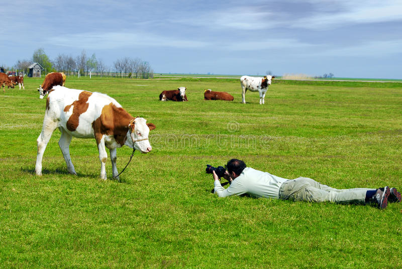φωτογραφία αγελάδων στοκ εικόνες με δικαίωμα ελεύθερης χρήσης
