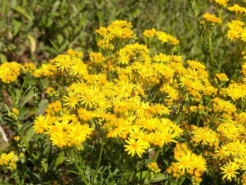 Φωτογραφία αποθεμάτων - γκρίζα erucifolia Jacobaea ragwort/eruci Senecio στοκ εικόνες με δικαίωμα ελεύθερης χρήσης