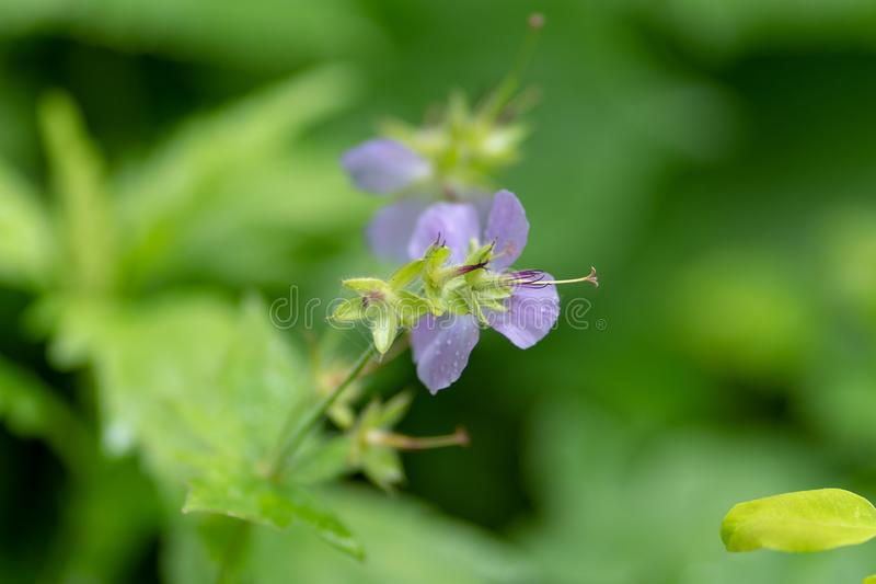 Φωτογραφία ενός ιώδους λουλουδιού σε ένα κλίμα χλόης στοκ εικόνα