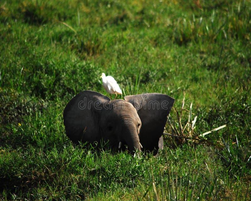 φωτογραφία ελεφάντων μωρών του 2009 που λαμβάνεται στοκ εικόνα