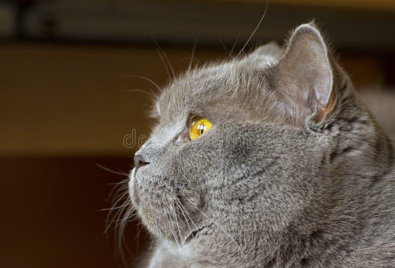Φωτογραφία κινηματογραφήσεων σε πρώτο πλάνο ενός γκρίζου κεφαλιού γατών ` s με τα κίτρινα μάτια στοκ εικόνα