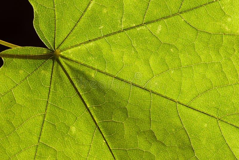 Φωτογραφία κινηματογραφήσεων σε πρώτο πλάνο ενός πράσινου φύλλου σφενδάμου στοκ φωτογραφία