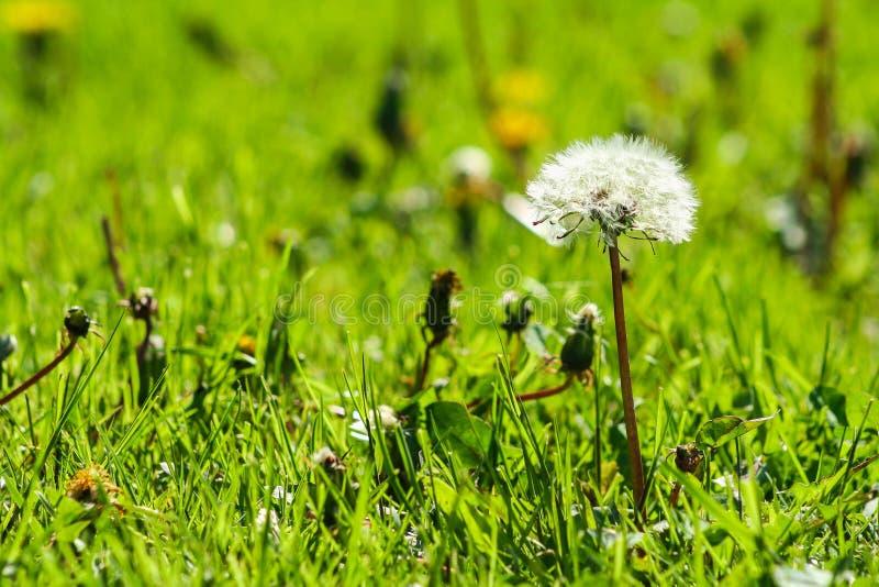 Φωτογραφία κινηματογραφήσεων σε πρώτο πλάνο της ώριμης πικραλίδας Άσπρα λουλούδια στην πράσινη χλόη Κινηματογράφηση σε πρώτο πλάν στοκ φωτογραφίες με δικαίωμα ελεύθερης χρήσης
