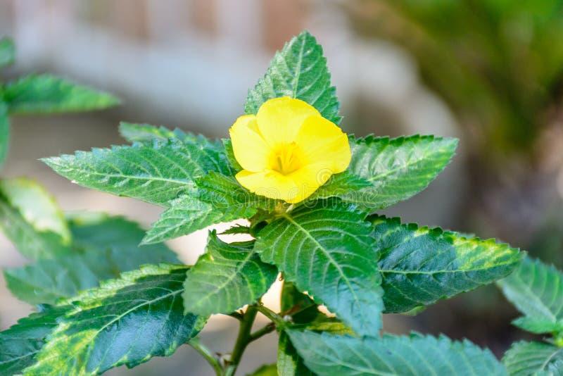 Φωτογραφία κινηματογραφήσεων σε πρώτο πλάνο του λουλουδιού damiana στοκ φωτογραφίες με δικαίωμα ελεύθερης χρήσης