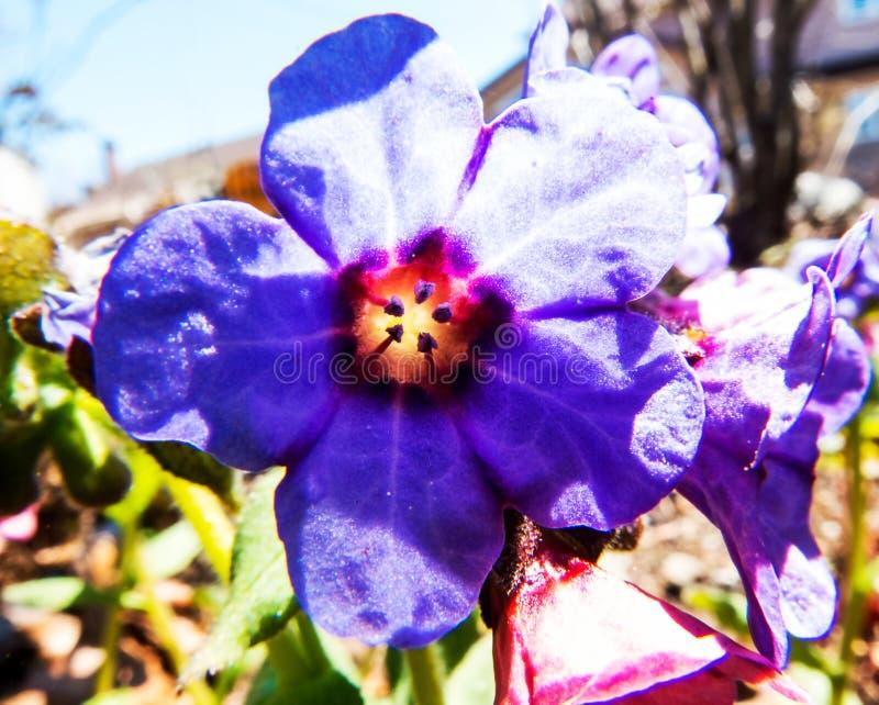 Φωτογραφία κινηματογραφήσεων σε πρώτο πλάνο: Χαριτωμένο πορφυρό και πορτοκαλί λουλούδι στοκ εικόνες