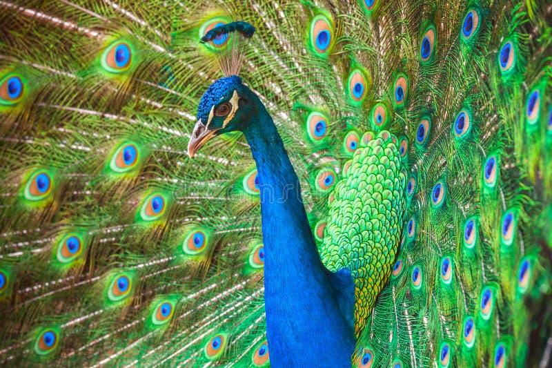 Φωτογραφία κινηματογραφήσεων σε πρώτο πλάνο άγριου Peacock με τα φτερά έξω στοκ εικόνες με δικαίωμα ελεύθερης χρήσης