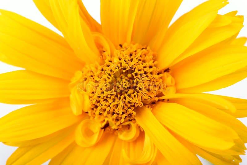 Φωτογραφία κινηματογραφήσεων σε πρώτο πλάνο λουλουδιών των κίτρινων μαργαριτών στοκ φωτογραφία με δικαίωμα ελεύθερης χρήσης
