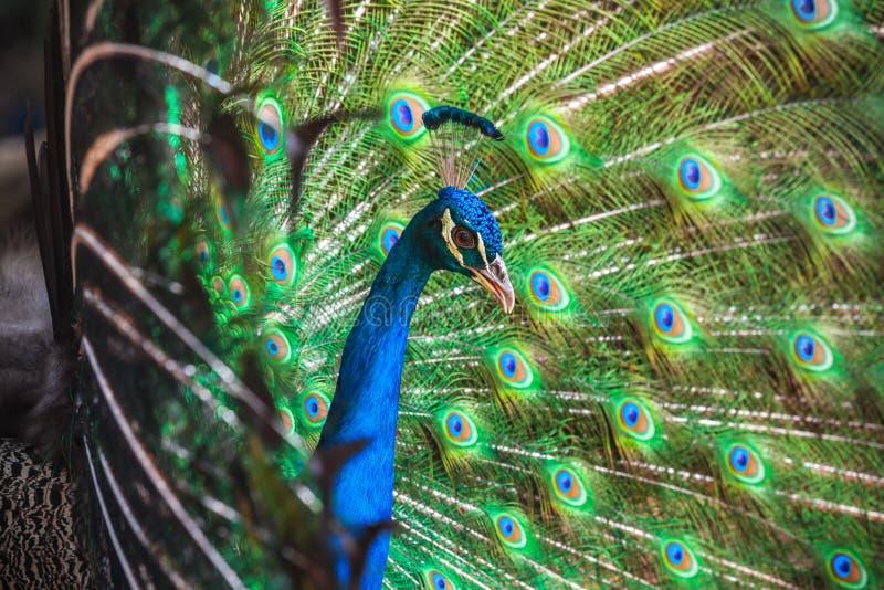 Φωτογραφία κινηματογραφήσεων σε πρώτο πλάνο Peacock με τα φτερά έξω στοκ εικόνα