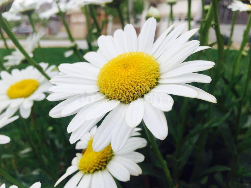 Φωτογραφία μαργαρίτα-IPhone στοκ φωτογραφία με δικαίωμα ελεύθερης χρήσης
