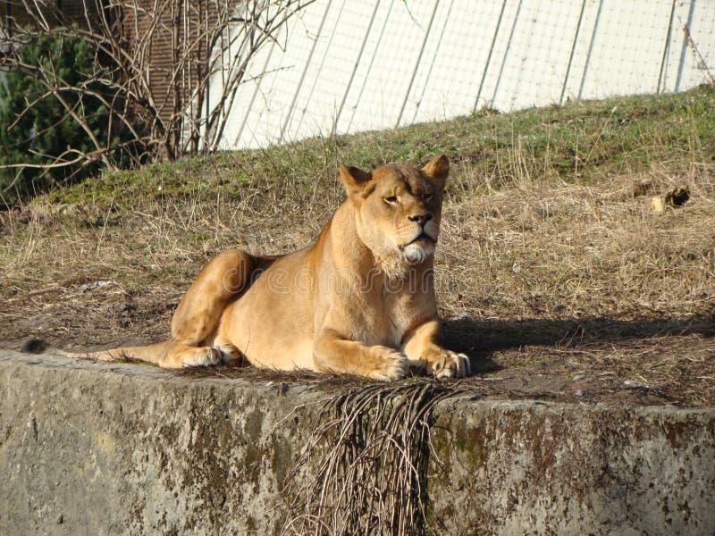 Φωτογραφία μιας λιονταρίνας σε στάση στοκ εικόνες